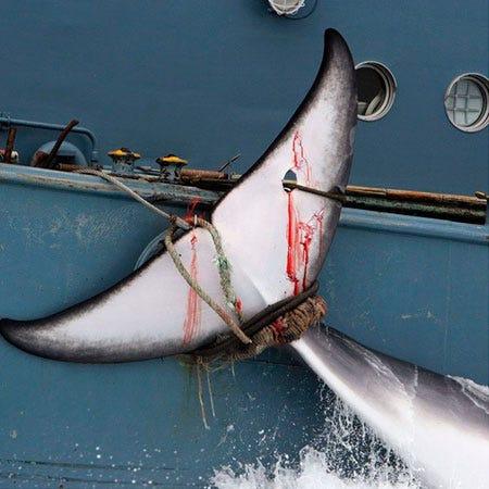 Japão anuncia retomada à caça de baleias